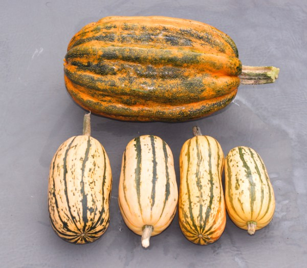 mature Kumi Kumi and Honeyboat Delicata squash
