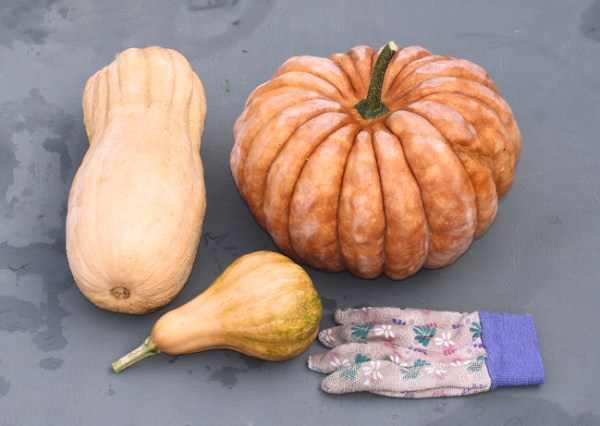 Violina Rugosa, Black Futsu and Seminole squash