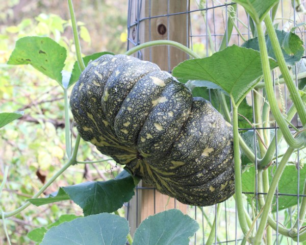 Thai Rai Kaw Tok winter squash on the vine