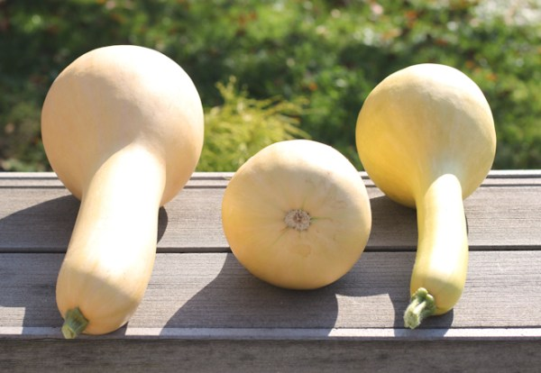 Pennsylvania Dutch Crookneck Squash