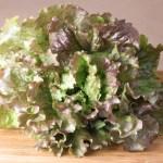 Red Sails lettuce
