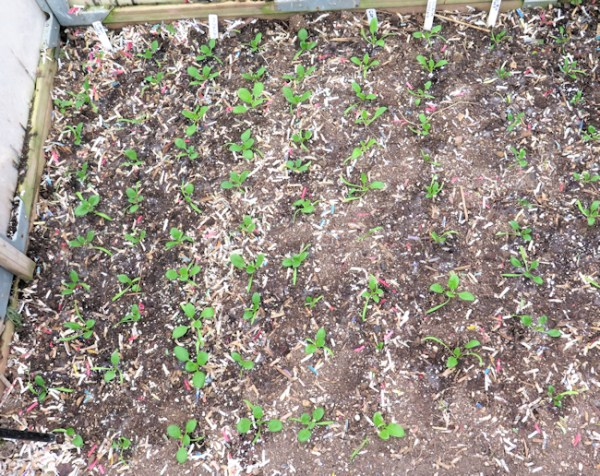 young spinach plants in the greenhouse bed