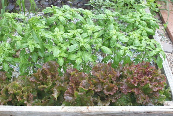 Red Sails lettuce planted next to basil