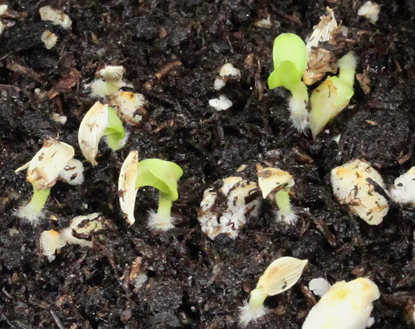 lettuce seeds sprouting