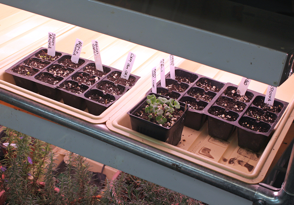 starting seeds under fluorescent lights