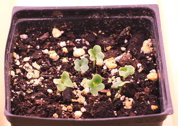 Senposai seedlings