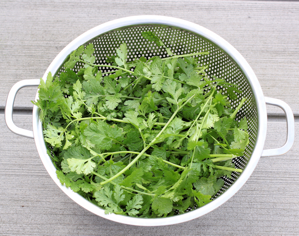Calypso cilantro