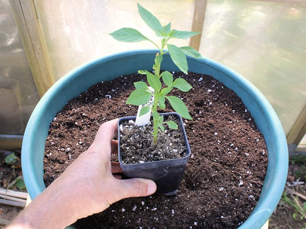 """planting pepper in 14"""" container"""