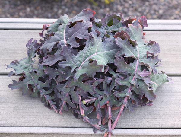 harvest of Red Ursa kale