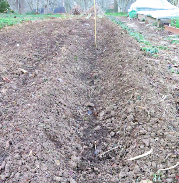 shallow trench for planting potatoes