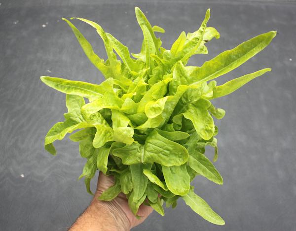 head of Baby Oakleaf lettuce