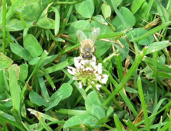 honeybee on white clover