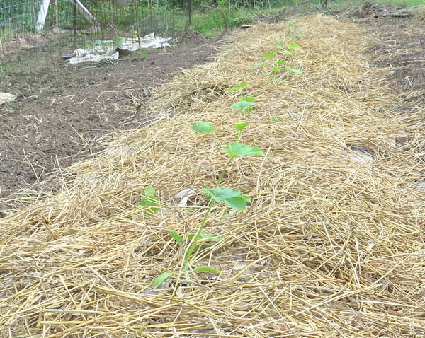 bed of bush squash plants