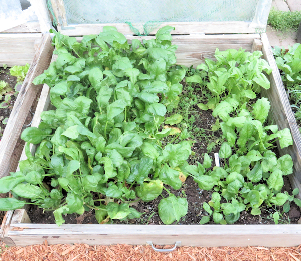 cold frame bed with spinach