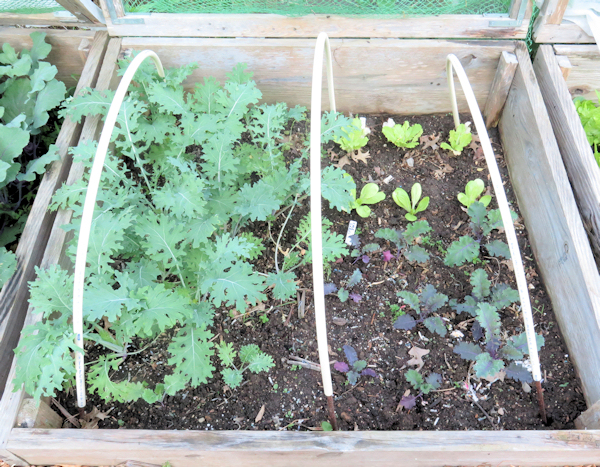 cold frame bed with kale and Chinese cabbage