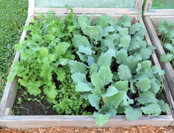 cold frame bed with cima di rapa and kohlrabi planted