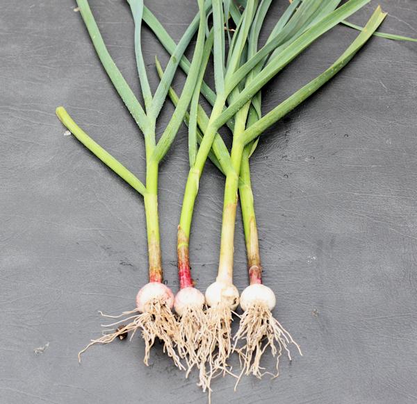 green garlic starting to form bulbs