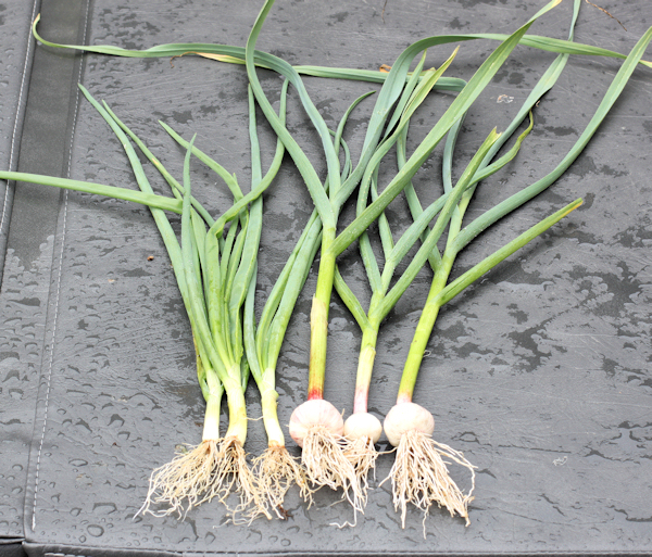 green onions and green garlic