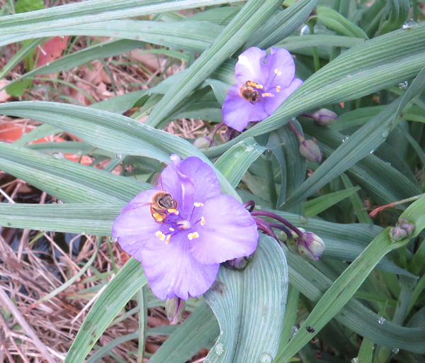 spiderwort with honeybees