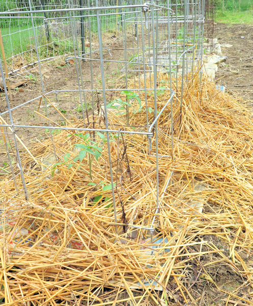 determinate paste tomatoes mulched and caged