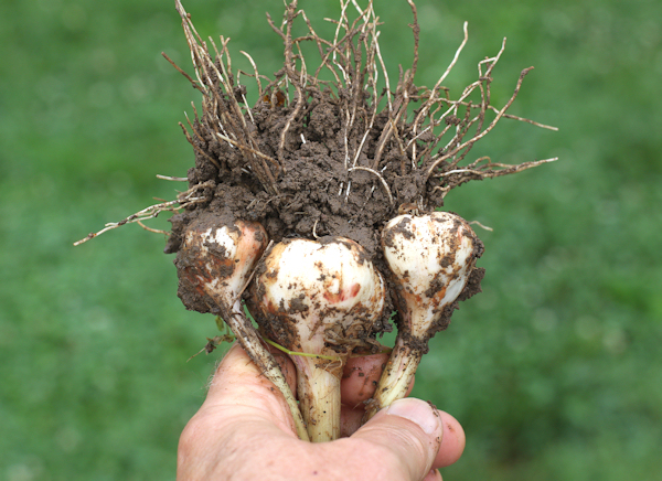 triple bulbs of Inchelium Red garlic
