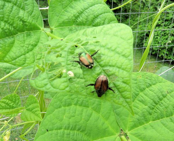 Japanese beetles on pole beans