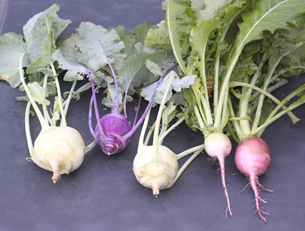kohlrabi and radishes