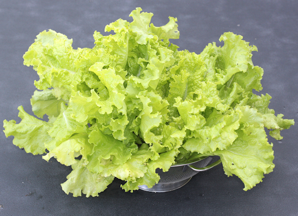 Simpson Elite lettuce