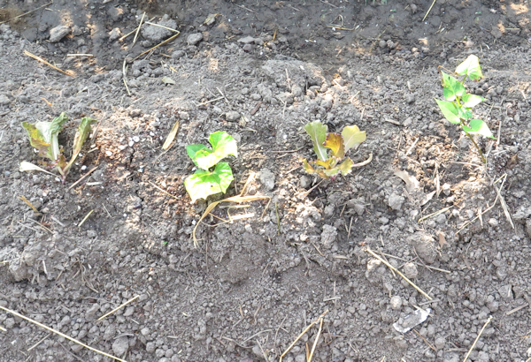 sweet potatoes with lettuce interplanted