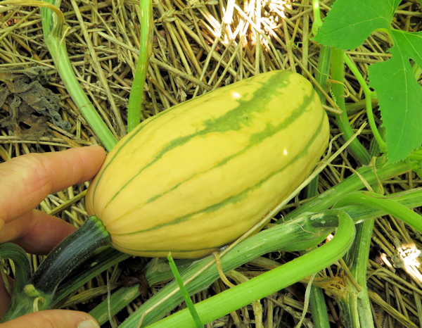 Honey Boat Delicata squash