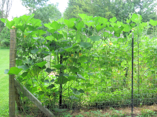 vines of Thai Rai Kaw Tok squash