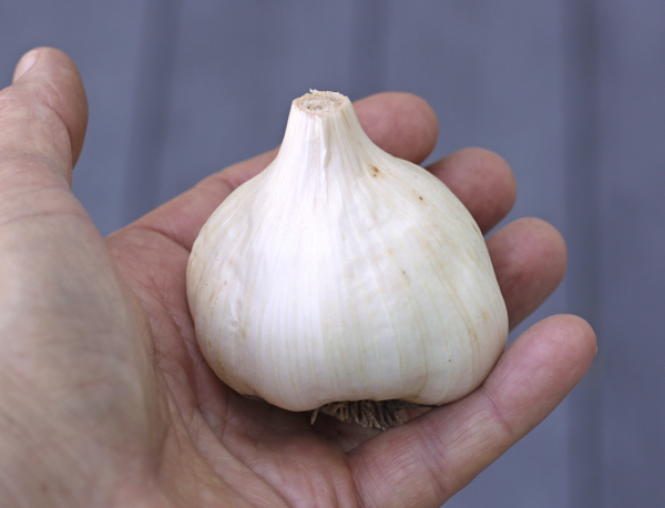 bulb of Idaho Silver garlic