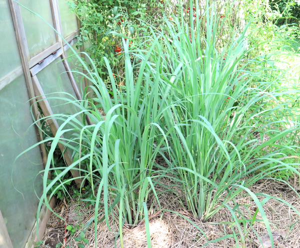 lemongrass planted behind greenhouse