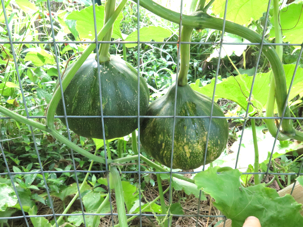 pair of Seminole squash on the vine