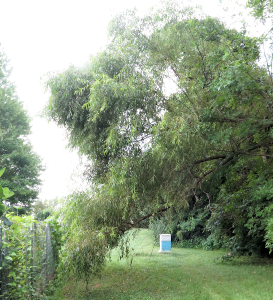 willow tree hanging over garden