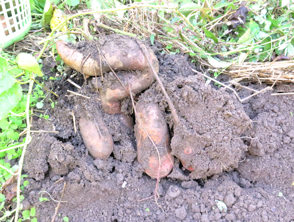 digging clump of sweet potatoes