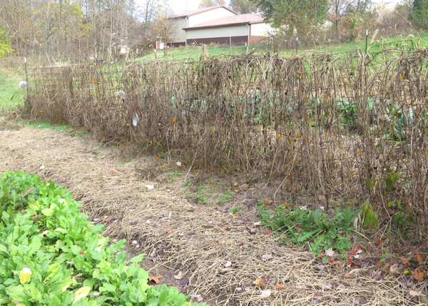 garlic bed mulched with straw