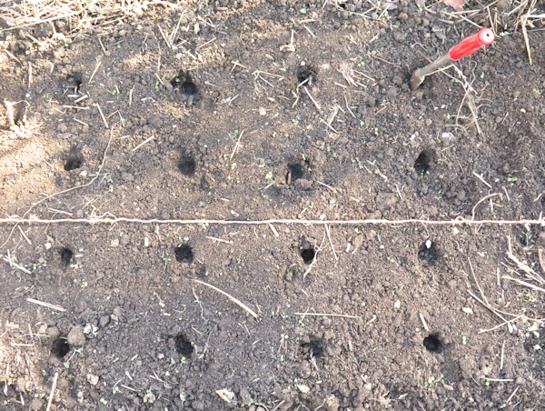 holes in soil made by planting jig