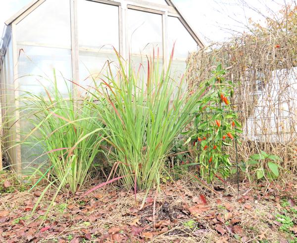 lemongrass behind greenhouse