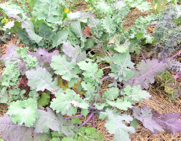 Wild Garden Kale with reddish leaves