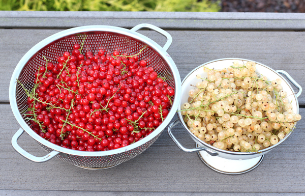 harvest of red and white currants