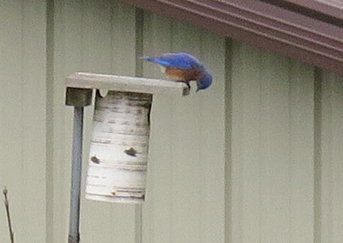 bluebirds checking out nest box
