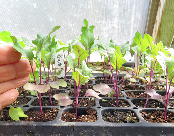 young Kolibri kohlrabi plants