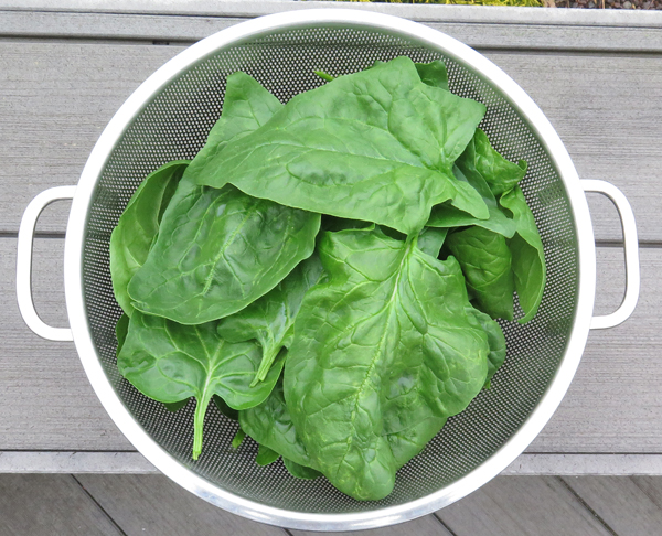 spinach from the greenhouse beds