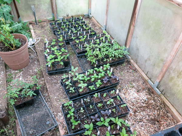 flats on the ground of the greenhouse bed