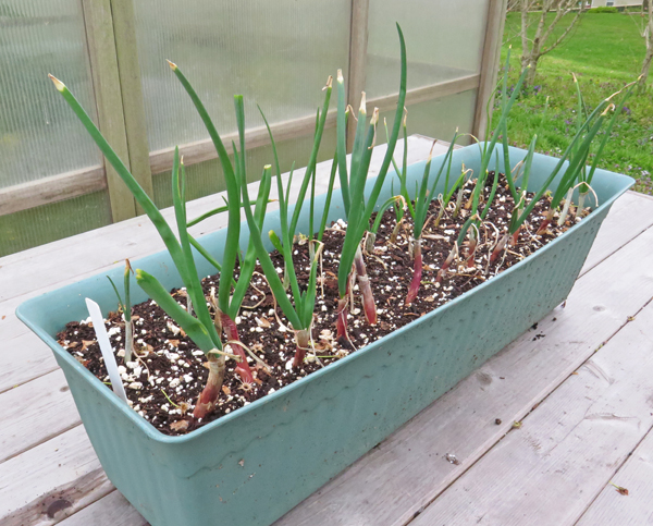 scallions in window box