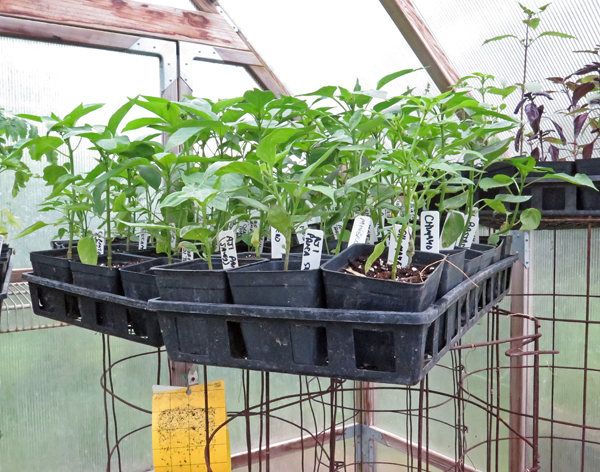 flats of peppers on cuke cages