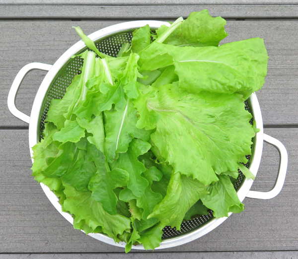 mixed lettuce for taco salad