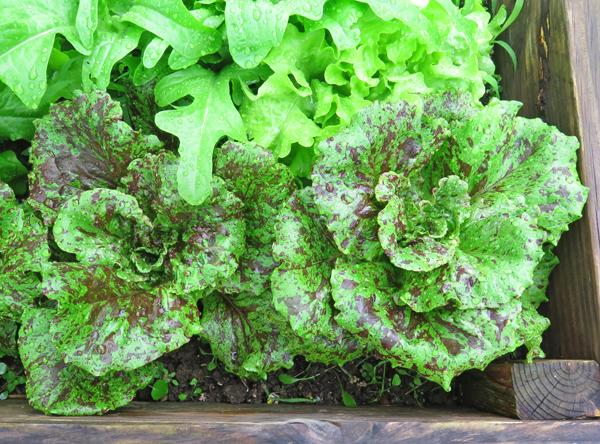 Pele lettuce