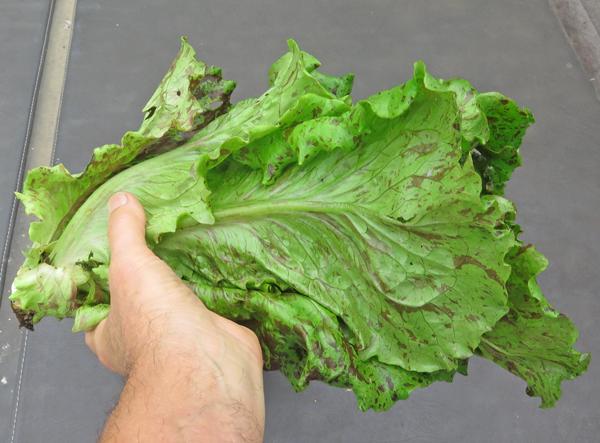 Pele lettuce side view